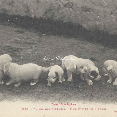 0 - 1023 - Chien des Pyrénées, une portée de 8 jours