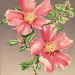 I - Rosa Mirifica Sacramento Rose